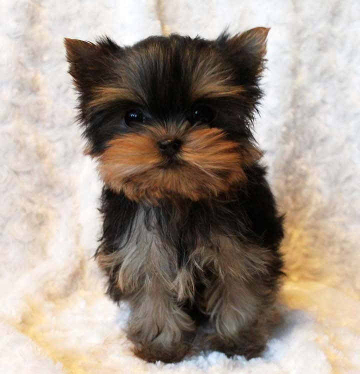 Iowa Cute teacup Yorkie pups for adoption : Pets and Animals in Iowa